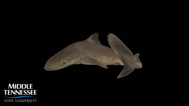 Spiny Dogfish - Squalus acanthias 3D Model