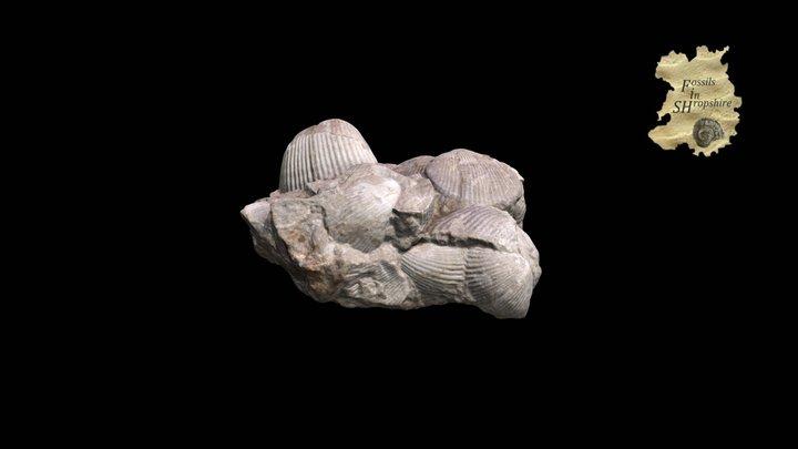 Brachiopod - Kirkidium knighti 3D Model
