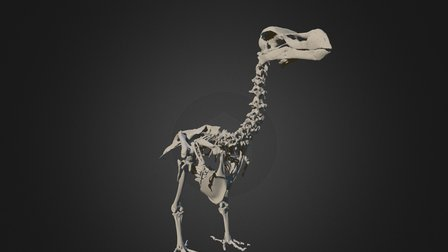 Durban Dodo Skeleton - Anatomically Correct Pose 3D Model