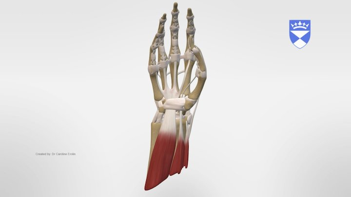 MUSCLES AND TENDONS OF THE FOREARM 3D Model
