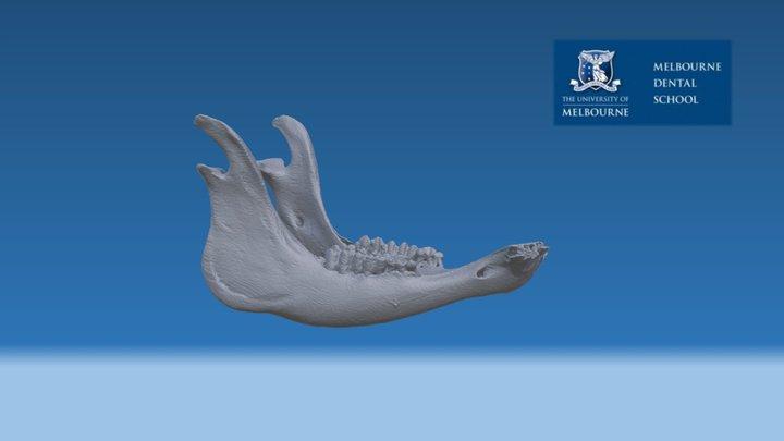 Cow Mandible 3D Model