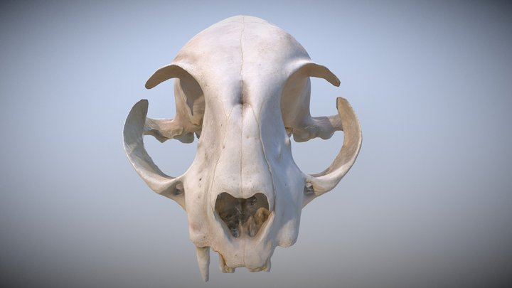 Cat Skull 3D Model