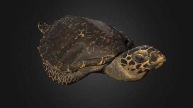 Hawksbill Sea Turtle 3D Model