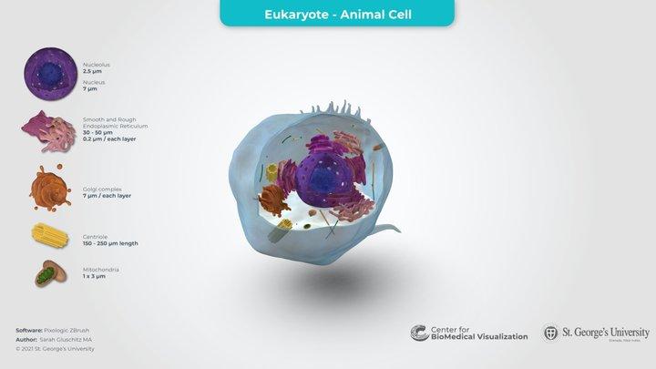 Eukaryotic Cell 3D Model