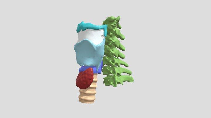 Thyroid 3D Model