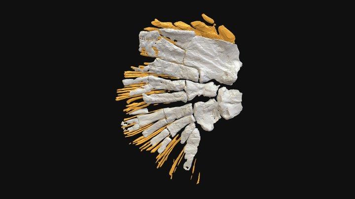 Sauripterus right fin 3D Model