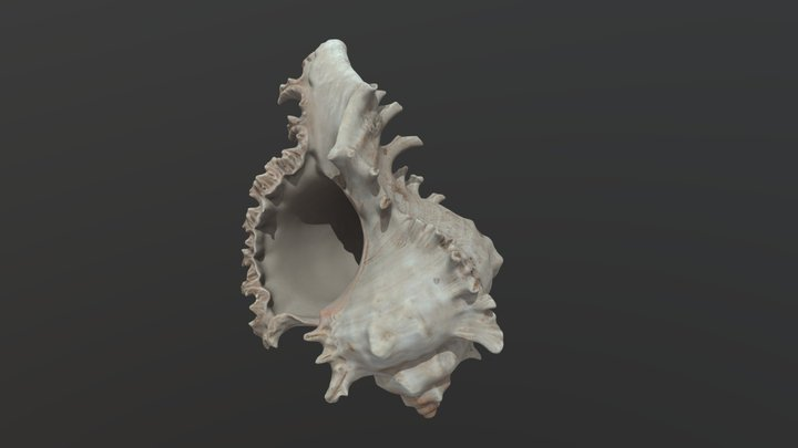 Seashell — FREE 3D Model