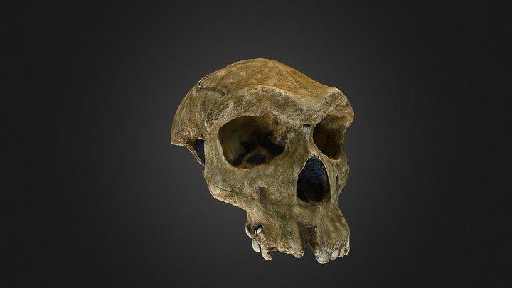 Homo heidlebergensis 3D Model