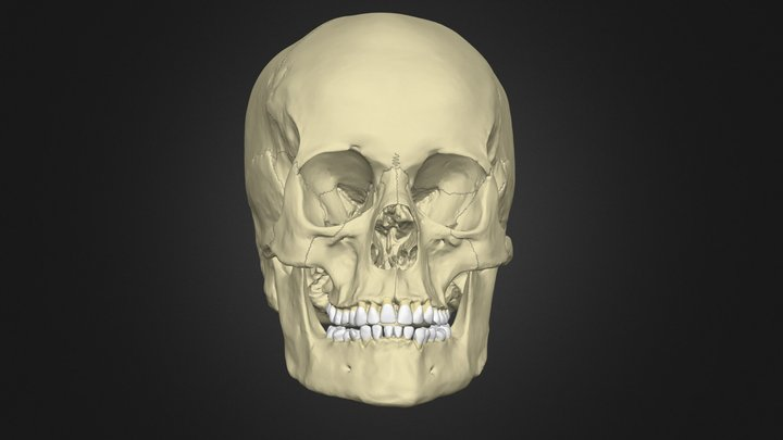 The Anatomy of the Human Skull 3D Model