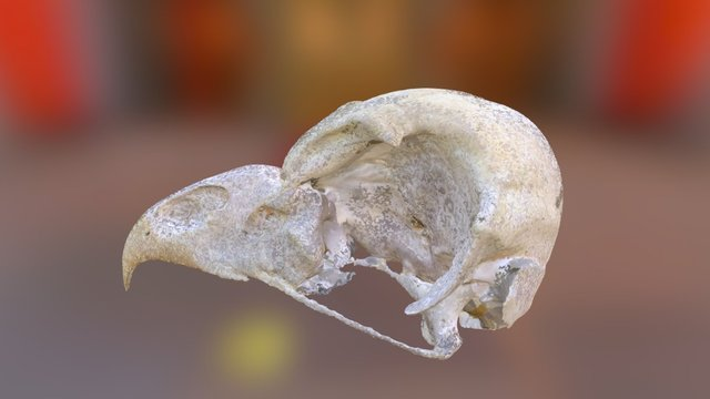 Barred Owl Skull (VCU_3D_1068) 3D Model