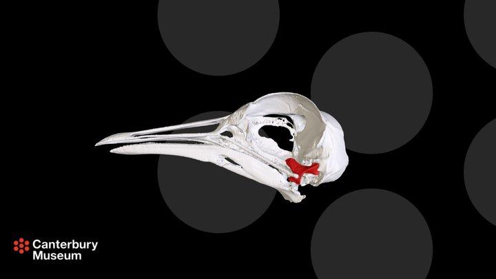 Masked Lapwing Vanellus miles miles Skull 3D Model