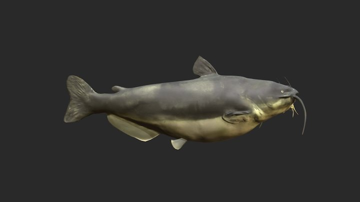 Blue Catfish 3D Model