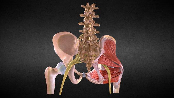 Deep muscles of the pelvis and Sacral plexus 3D Model