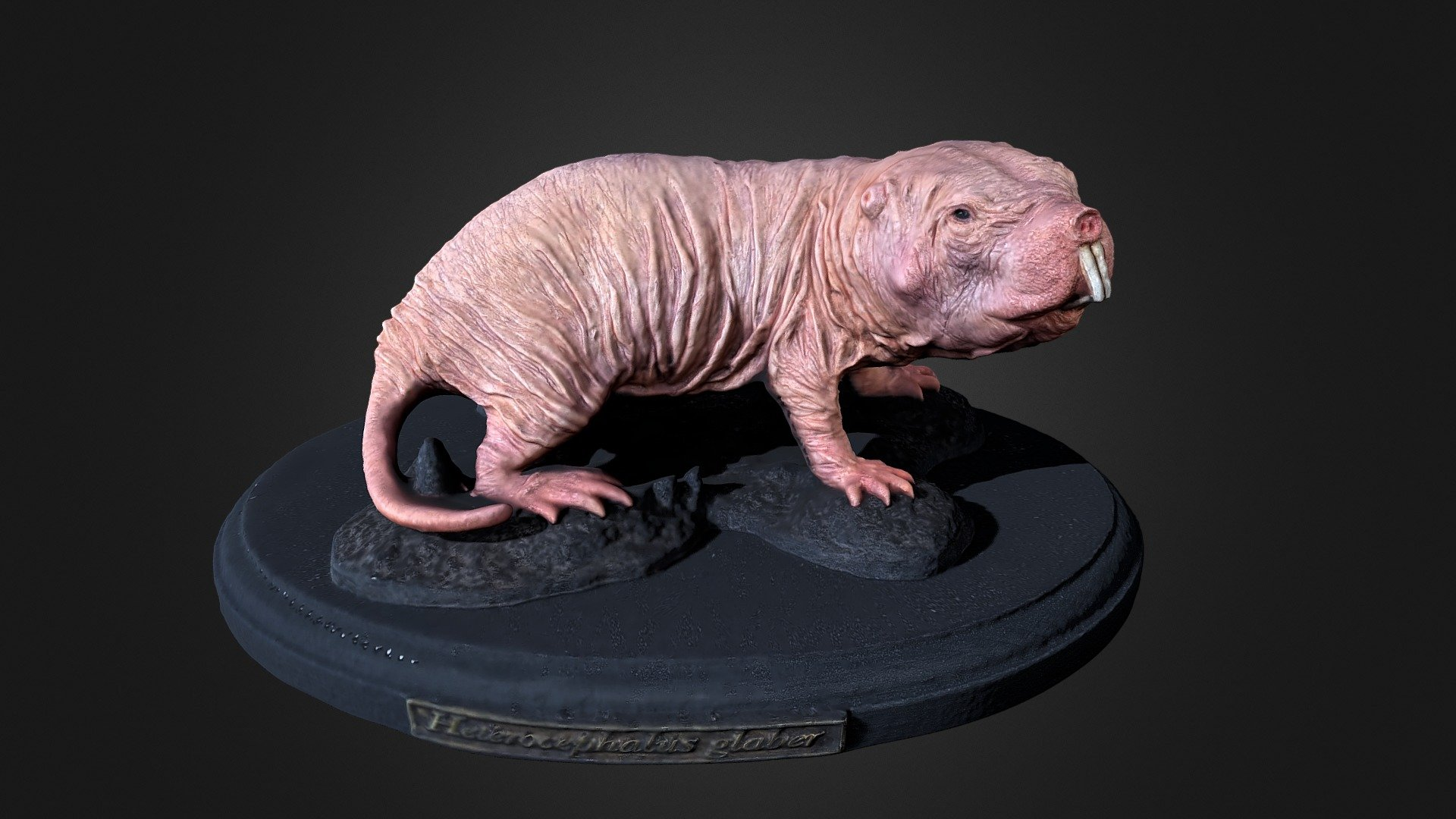Naked Mole Rat .::RAWscan::. - Download Free 3D model by Spogna ...