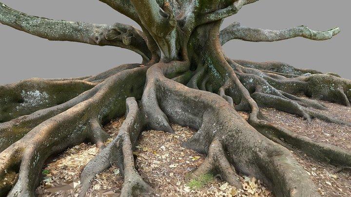 Moreton Bay Fig Tree 3 3D Model
