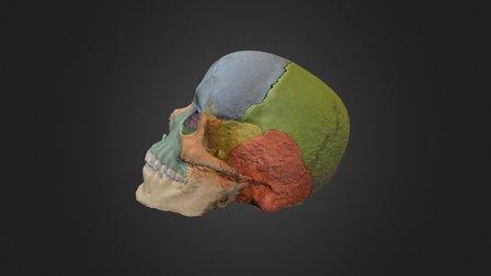 Cranium & Mandible 3D Model