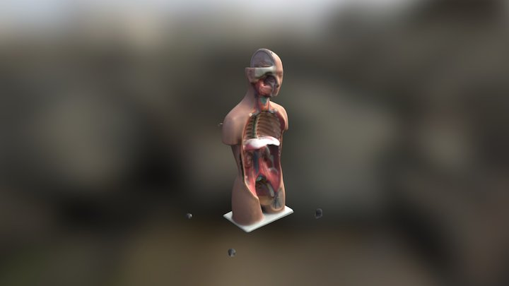 Full Body Atnomy(Without Organs) 3D Model