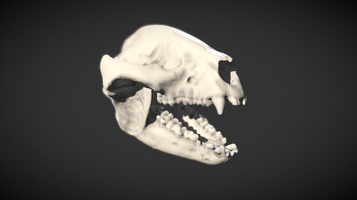 Crâne du Grand Panda - Giant panda skull 3D Model