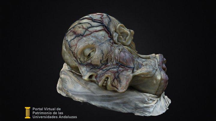 Distribución vascular de la cabeza 3D Model
