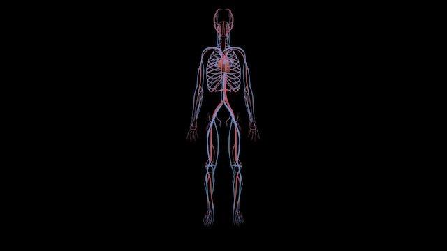 Cardiovascular System 3D Model