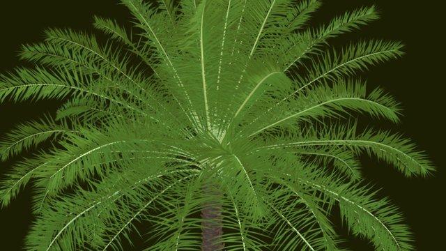 Phoenix reclinata x canariensis 3D Model