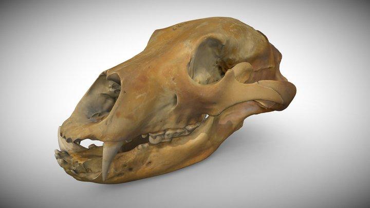 Brown bear's Ursus arctos skull 3D Model