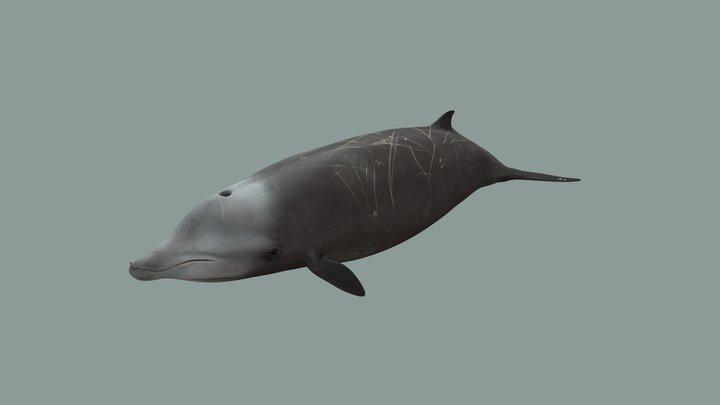 Cuvier whale 3D Model