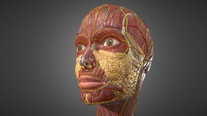 Human Face Anatomy - Skull Muscles Nerves Veins 3D Model
