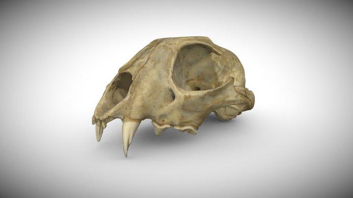 Eurasian Lynx's Lynx lynx Skull 3D Model