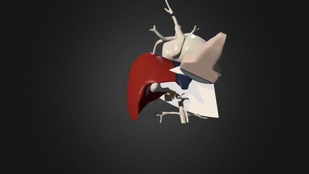 ultrasound examination of the liver 3D Model