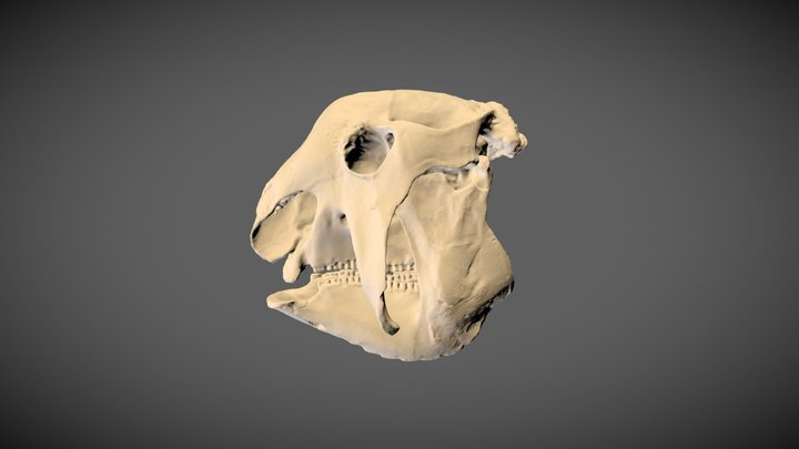 The armoured extinct mammal Panochthus 3D Model