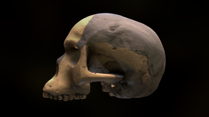 Piltdown Man Skull 3D Model