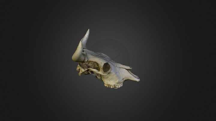 Re-processed cows skull 3D Model