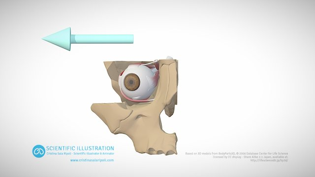 Abduction of the eye 3D Model