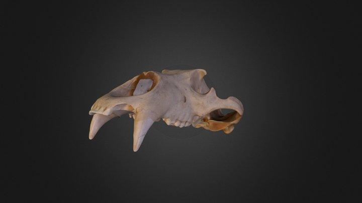 Bear Skull 3D Model