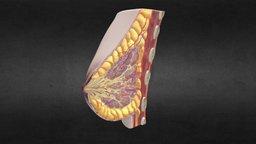 Human Female Breast Anatomy 3D Model