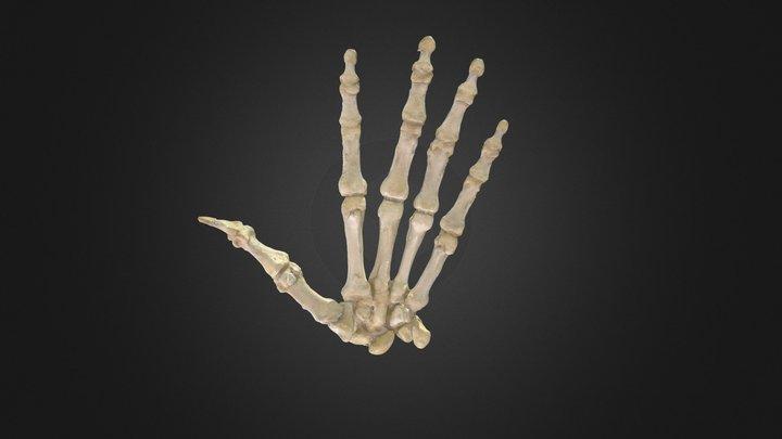 Hueso de la Mano/ Hand bones 3D Model