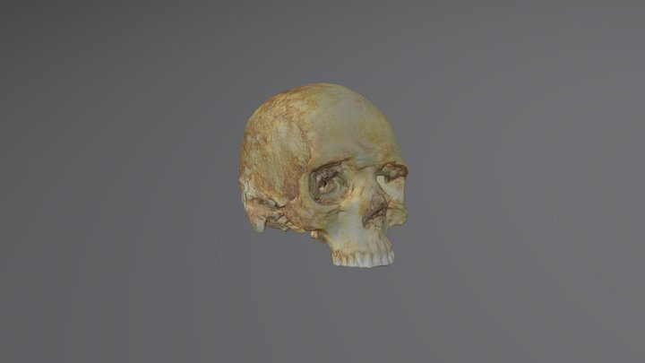 Human skull from a viking age grave 3D Model