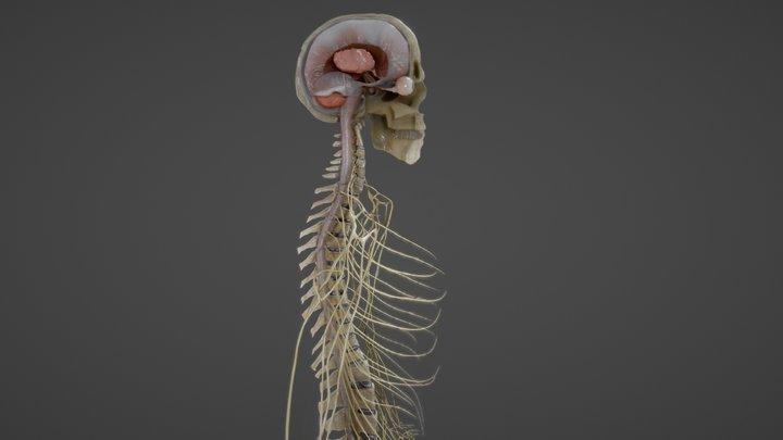 Nerves with a Skeletal Cross-Section 3D Model