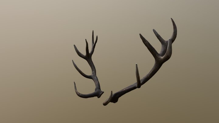 Reed Deer Antlers Scan 3D Model