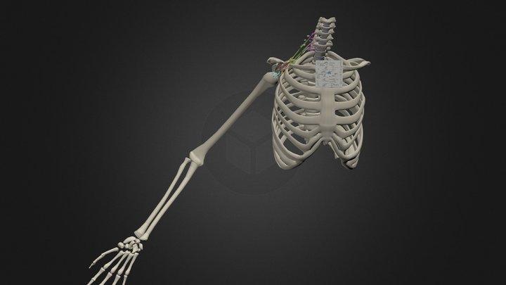 Brachial Plexus 3D Model