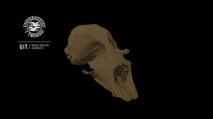 Seal skeleton: Scull, high detail with texture 3D Model