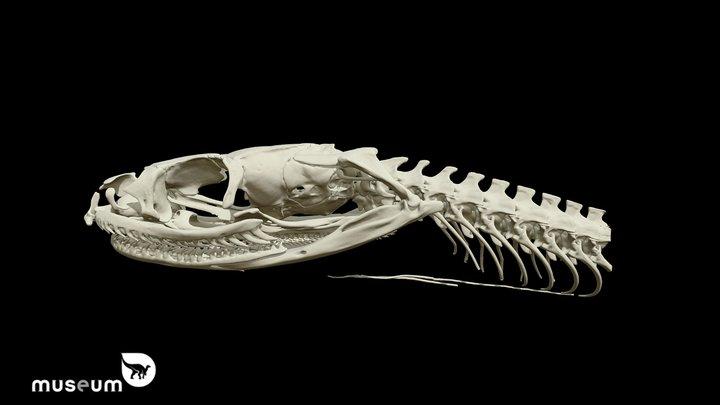RBINS-VERT-20B Xenochrophis vittatus 3D Model