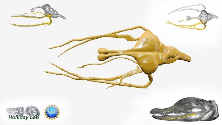 Alligator Trigeminal Nerve and Brain 3D Model