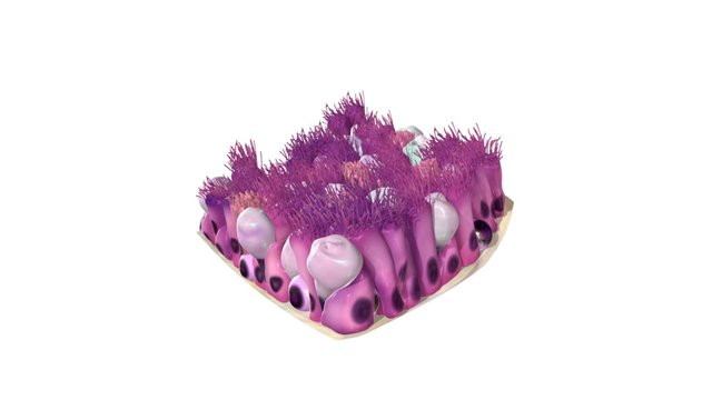 Epithelium of the Trachea 3D Model