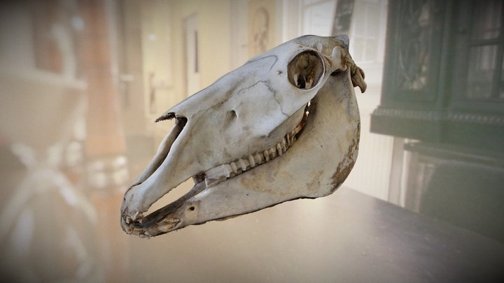 Horse skull, Jane Wildgoose Memorial Library 3D Model