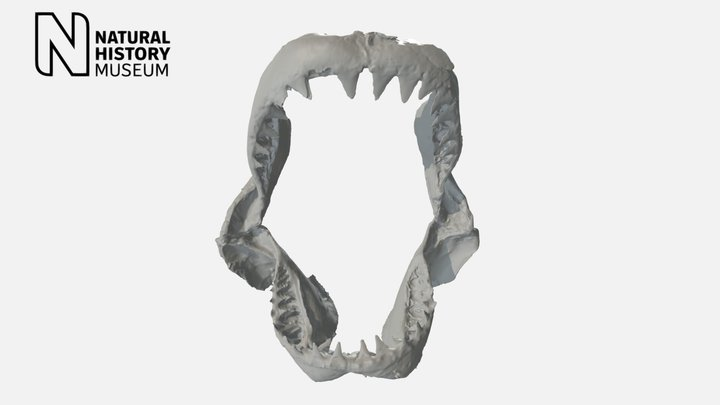 Great White Shark jaw 3D Model