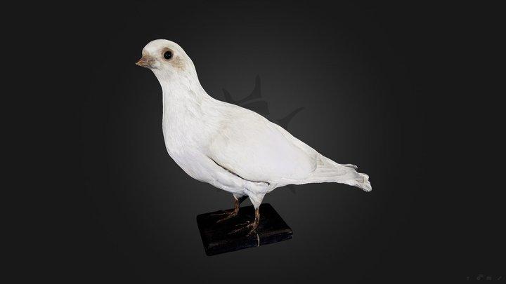 Голубь римский белый | Dove Roman white 3D Model