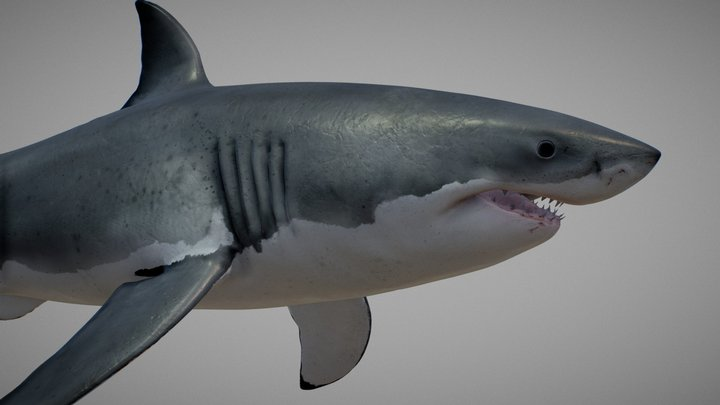 great white shark ( Carcharodon carcharias ) 3D Model