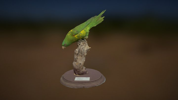 Scaly-Breasted Lorikeet 3D Model